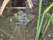 14th Apr 2015 - Yet another frog!