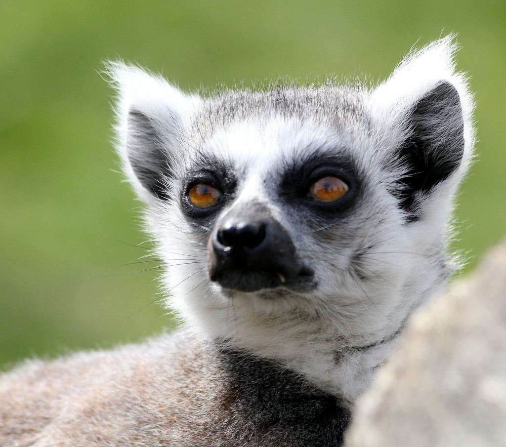 The eyes of the Ring-tailed lemur  by phil_howcroft