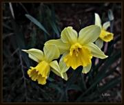 13th Apr 2015 - Yellow Daffodils