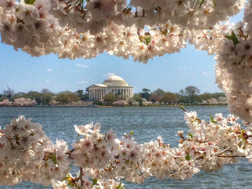 Jefferson's Cherry Blossoms by khawbecker