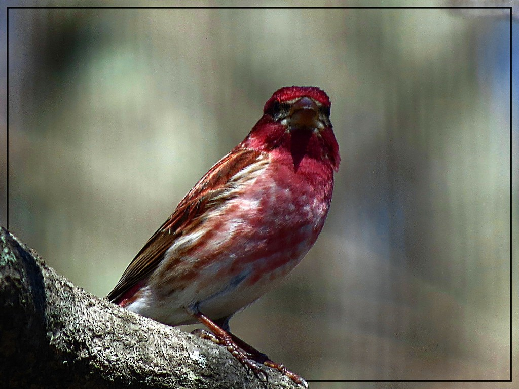 Purple Finch by olivetreeann