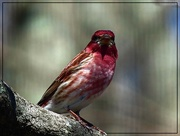 13th Apr 2015 - Purple Finch