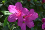 14th Apr 2015 - Azalea, Cypress Gardens, Berkeley County, SC