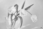 14th Apr 2015 - 2015-04-14 fringed tulips monochrome