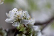 14th Apr 2015 - Blossoms