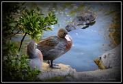 14th Apr 2015 - Blue Duck... Whio...