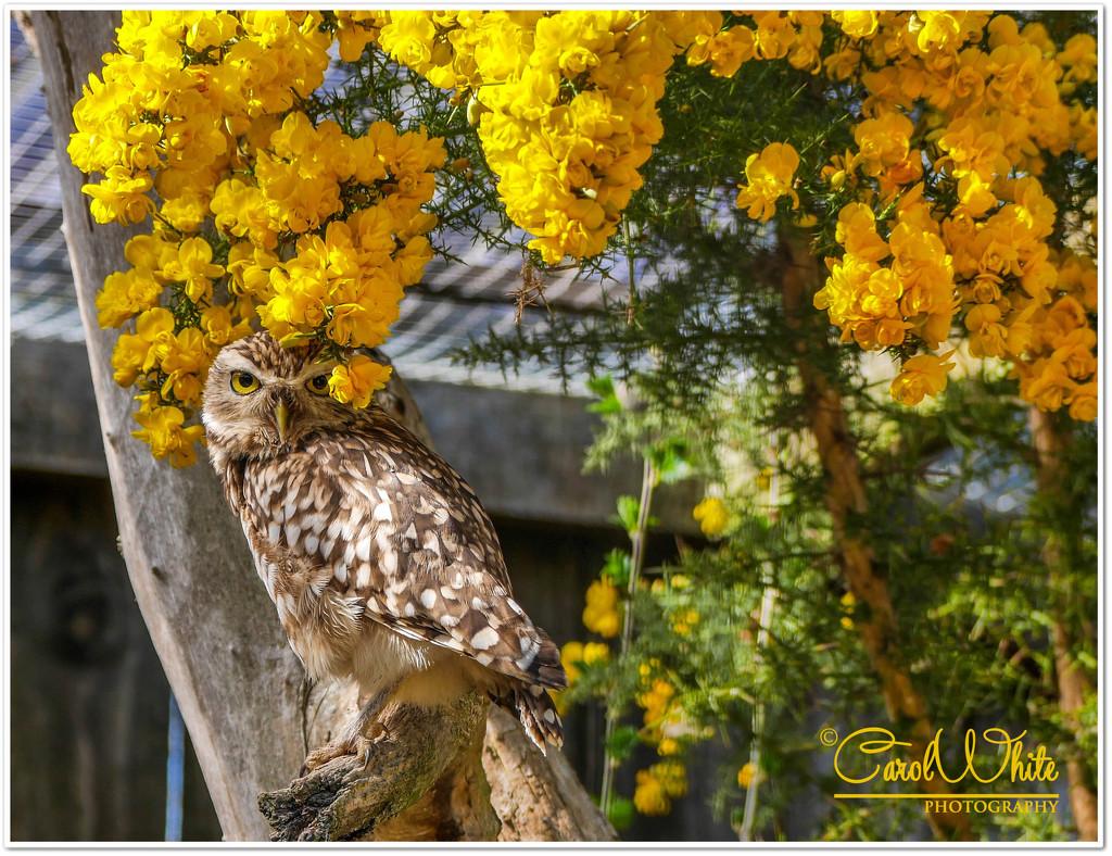 Burrowing Owl by carolmw