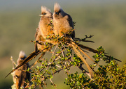 15th Apr 2015 - Speckled Mousebirds