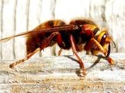 15th Apr 2015 - European Hornet Queen chewing wood