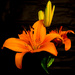 Low Key Orange Lily by salza