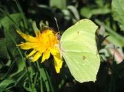 15th Apr 2015 - Brimstone Butterfly