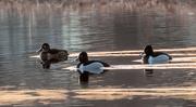 15th Apr 2015 - Ring-Necked Ducks