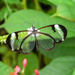 Glasswing butterfly I by stiggle