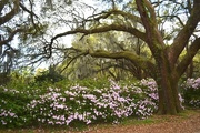 16th Apr 2015 - Azaleas and live oak, Charleston, SC