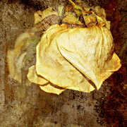 16th Apr 2015 - Rose