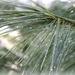 Raindrops on needles