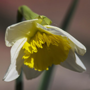 16th Apr 2015 - Our first daffodil of 2015