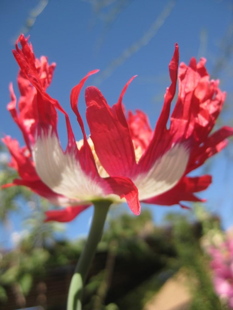 poppy lovin' the sunshine by blueberry1222