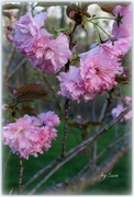 16th Apr 2015 - Our Crabapple Tree