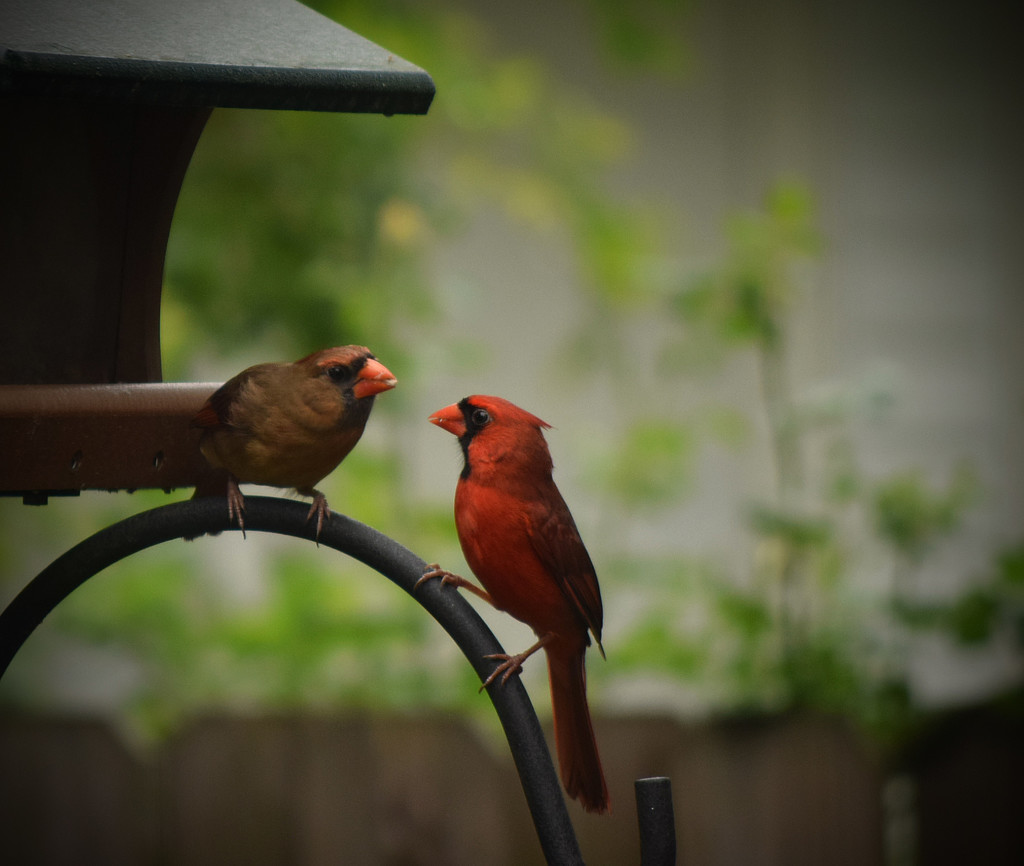 Cardinals Feeding by rickster549