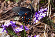 16th Apr 2015 - First Swallowtail of the Year