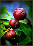 17th Apr 2015 - Guava time