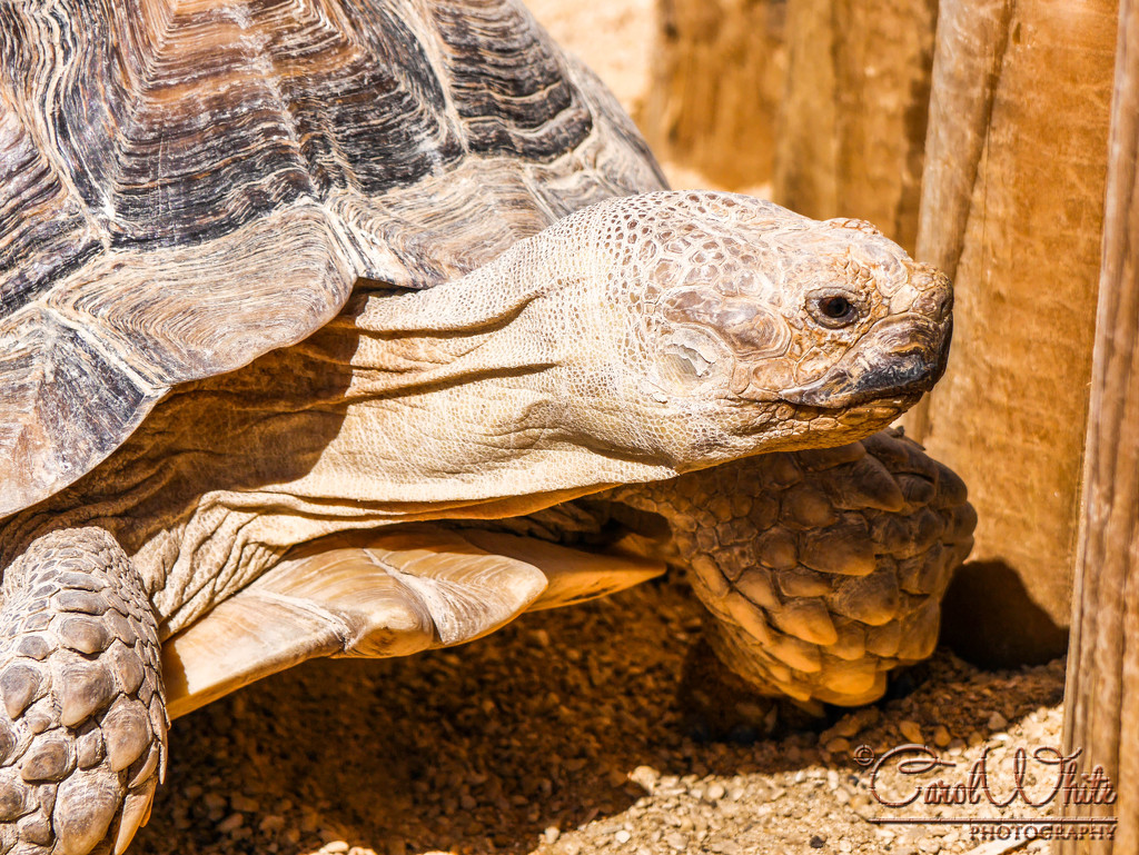 Tortoise by carolmw