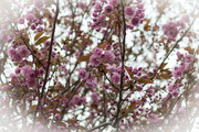 17th Apr 2015 - The Cherry Blossom has exploded!!