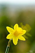 17th Apr 2015 - Daffodil