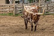 17th Apr 2015 - Texas Longhorn