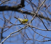 17th Apr 2015 - Migrating Warblers have Arrived in Michigan