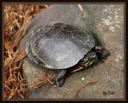 17th Apr 2015 - Turtle