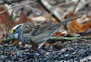 17th Apr 2015 - White- throated sparrow
