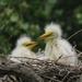 Egret Chicks by rob257