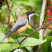 Eastern Spinebill by bella_ss