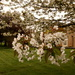 Cherry blossom at the vicarage by busylady