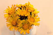 18th Apr 2015 - A bouquet of coltsfoot