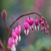 2015 04 18 - Dicentra or bleeding hearts by pixiemac