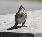 19th Apr 2015 - Song Sparrow Singing