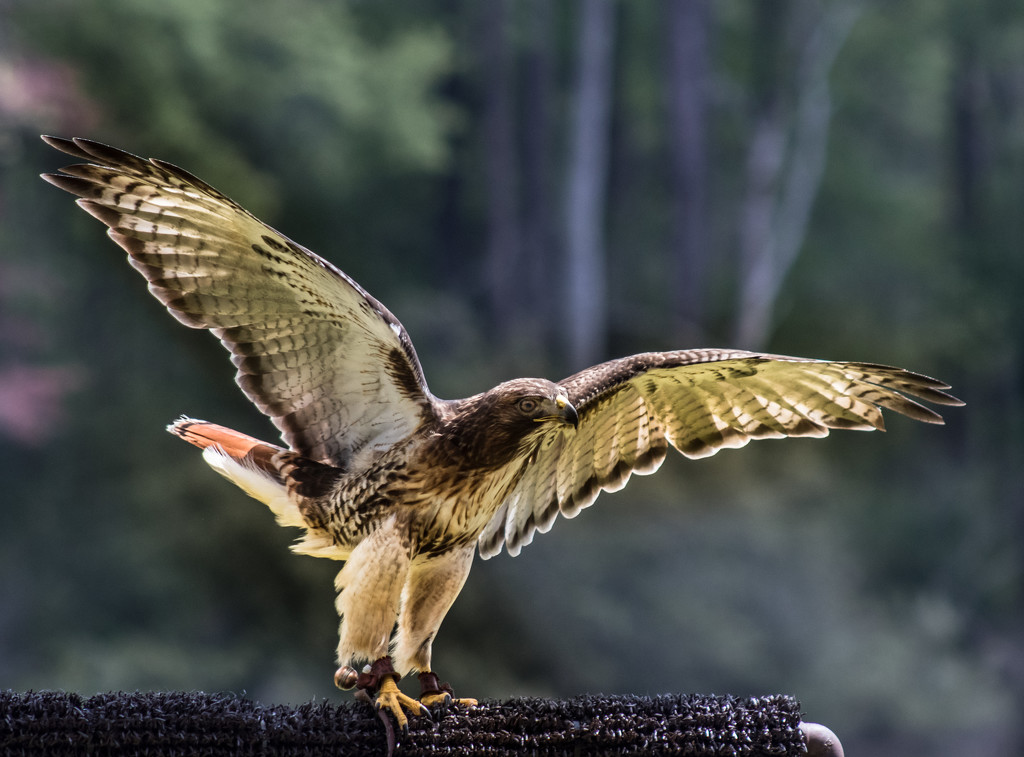 Backlit Red-Tailed Hawk  by darylo