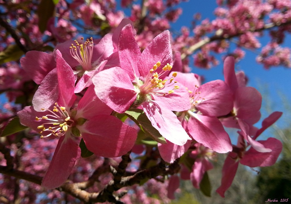 Crab Apple Blossoms by harbie