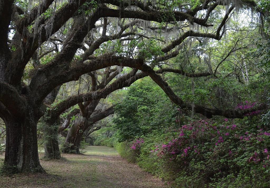 Live oaks and azaleas, Dixie Plantation, Charleston County, SC by congaree