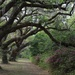 Live oaks and azaleas, Dixie Plantation, Charleston County, SC by congaree