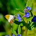 ORANGE TIP ON BORAGE by markp