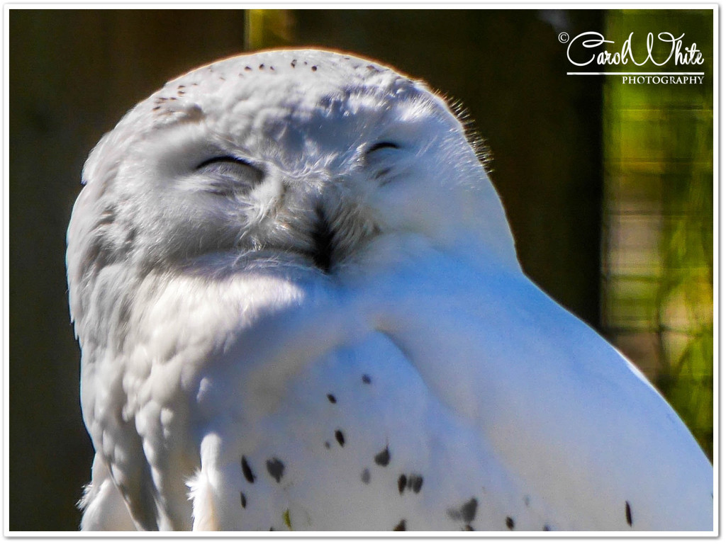 Snowy Owl by carolmw