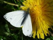 19th Apr 2015 - Small White butterfly  (Pieris rapae)