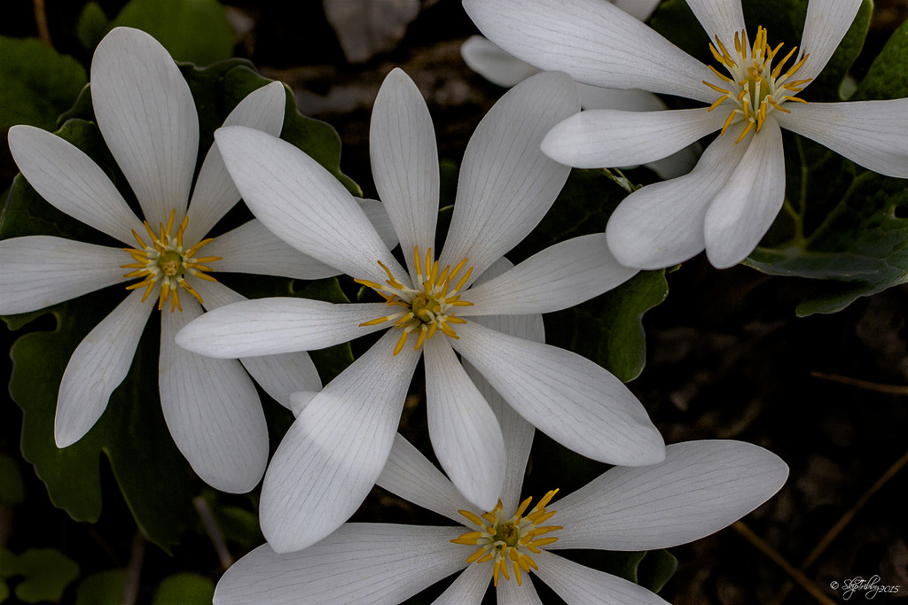 Bloodroot by skipt07