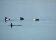 17th Apr 2015 - Buffleheads With Some Ring Necks