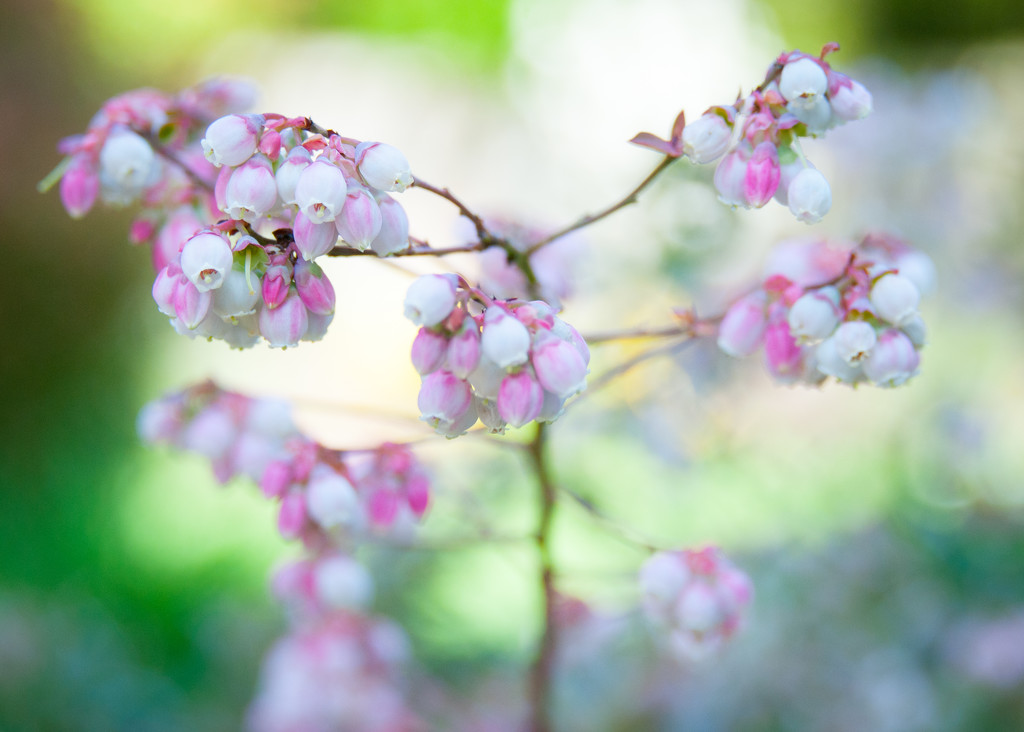 Blueberry Blossoms  by epcello