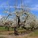 Those old apple trees